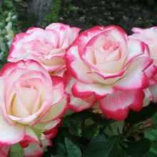 Способы выращивания роз
