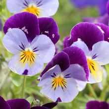 Анютины глазки фиолетово-белые