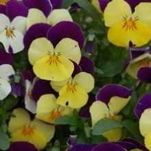 Анютины глазки желто-фиолетовые