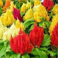 Цветы целозии