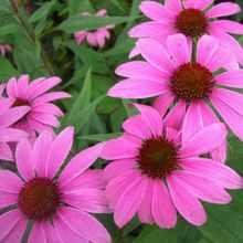 Эхинацея пурпурная выращивание