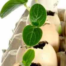 Выращивание рассады огурцов в скорлупе от яиц