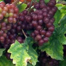 Сохранить подмерзший виноград