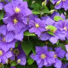 Клематис с сиреневыми цветками