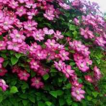 Правильно ухаживать за клематисом весной и летом