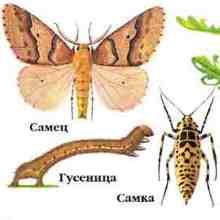 Самец и самка пяденицы