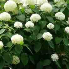Чем подкармливать гортензии в саду