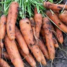 Уход за морковью после посадки