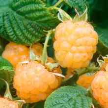 Малина сорта абрикосовая