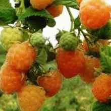 Плоды абрикосовой малины