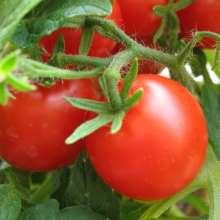 Как ускорить созревание томатов в открытом грунте