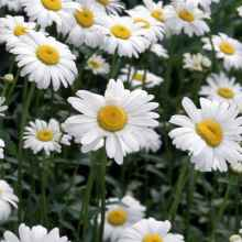 Выращивание лекарственных растений на садовом участке