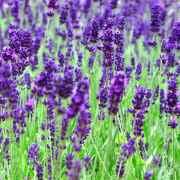 Лаванда лекарственное растение