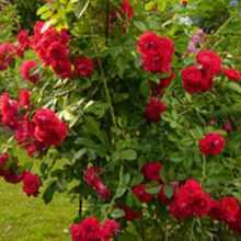 Что делать чтобы розы не болели