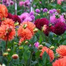 Фото луковичных растений георгины