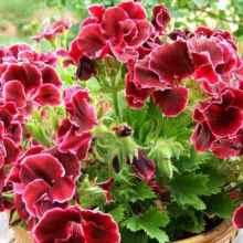 Как обрезать герань для пышного цветения