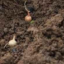 Что можно посадить осенью в огороде