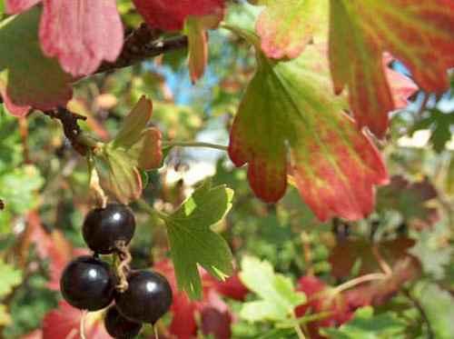 Осень. Подкормки смородины