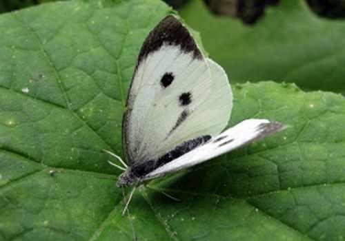 Бабочка белянки