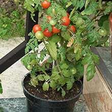 Фото балконных томатов