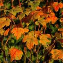 Подкормки смородины и крыжовника осенью