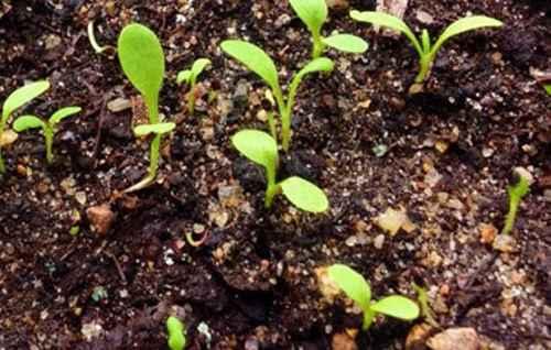 создать когда сеять щавель в открытый грунт пачки семян можно