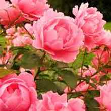 Чем подкормить розы весной летом и осенью