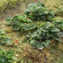 Мульчируем клубнику скошенной травой