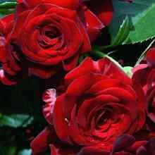 Подкормка роз весной летом и осенью
