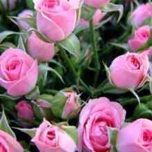 Подкормка садовых роз весь сезон