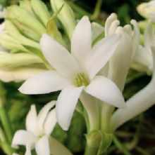 Цветок туберозы