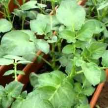 Вырастить рассаду картофеля из клубней