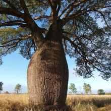 Растение Брахихитон