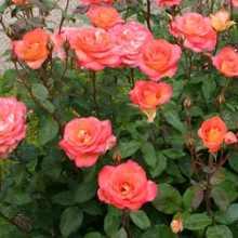 Подкормки для цветения роз