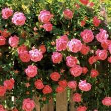 Пышное цветение роз при правильных подкормках
