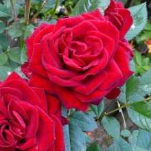 Чем удобрить розы для пышного цветения