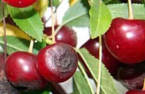Антрактоз на вишне