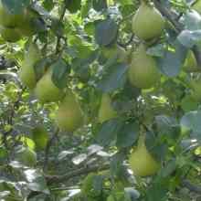 Дерево груши Виктория