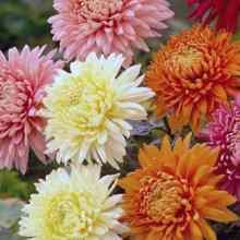 Как правильно вырастить хризантему
