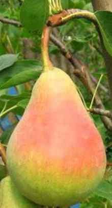 Плод груши Виктория