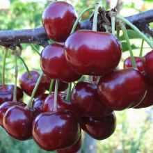 Хорошие урожайные сорта вишни