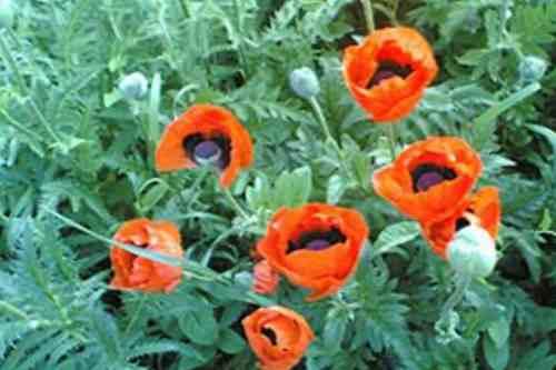 Цветут маки в саду