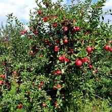 Дерево сорта яблони Мантет