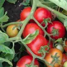 Как увеличить количество плодов на помидорах