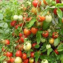 Как увеличить количество завязей на помидорах
