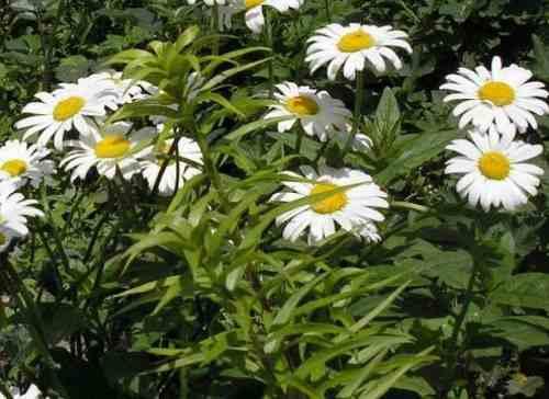 Нивяник неприхотливый садовый многолетник