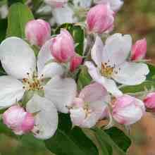 Борьба с вредителями яблонь