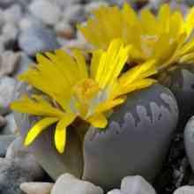 Литопсы с желтыми цветами