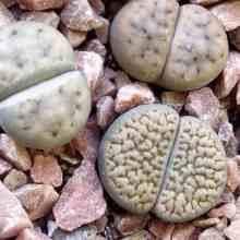 Литопсисы живые камни