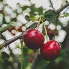 Удобрения для подкормки вишни